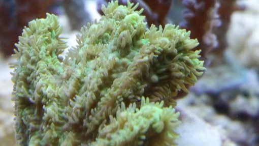 Hydnopora neongrün